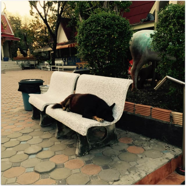 Koh Samui dog meditating at temple